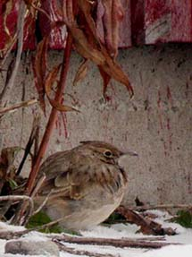 Suolahden Paatelassa talven 2002-03 viettänyt töyhtökiuru on bongatuimpia lintuja Keski-Suomessa. Rauno Siltasalmi
